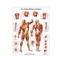 La musculature Humaine