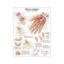 Main et poignet - Anatomie et pathologie