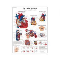 Le cœur humain, Anatomie et physiologie