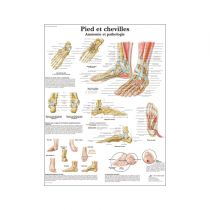 Pieds et chevilles - Anatomie et pathologie