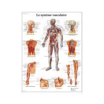 Le système vasculaire